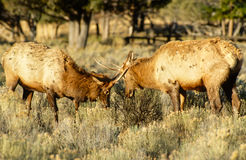 Spike Elk Sparring. Two young spike elk play sparring in early morning sunlight Royalty Free Stock Images