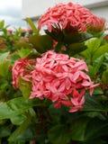 Spike flowe. Pink spike flowe in garden Stock Photography