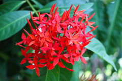 Spike flower. Or Balinese Ixora royalty free stock images