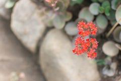 Spike flower. Red spike flower in garden.  Royalty Free Stock Photography