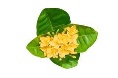 Spike flower, Rubiaceae flower, Ixora coccinea isolated. On white background Stock Photos