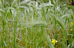 Spike grass in drops of dew on a green background blurred spots.  Royalty Free Stock Image