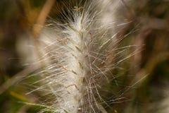 Spike of the grass Lagurus ovatus Stock Photos