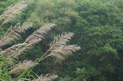 Spike grass Royalty Free Stock Photos