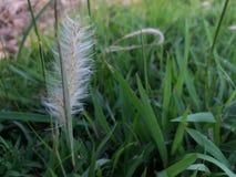 Spike Grassy blanco Fotos de archivo libres de regalías