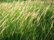 Spike green grass Royalty Free Stock Photography