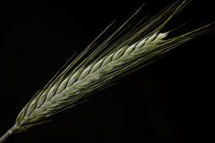 Spike of green wheat Royalty Free Stock Image