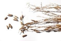 Spike of Jasmine Rice Stock Photo