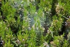 Spike lavender Stock Photo