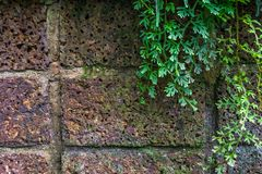 Spike Moss on the laterrite wall stock photo