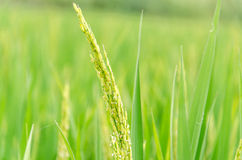 Spike of rice Royalty Free Stock Photo