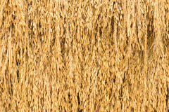 Spike rice Stock Images