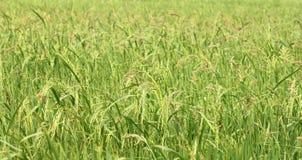 Spike in rice farm Stock Photos