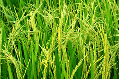 Spike in the rice fields Stock Photography