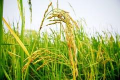 Spike rice Stock Image