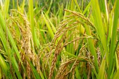 Spike of Rice. Golden yellow color spike of rice are ripening in the rice field in Fujian, China Royalty Free Stock Image