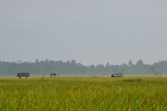 Spike of rice at morning. Beautiful scenery of Spike of rice at morning Stock Photography