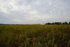 Spike of rice at morning. Beautiful scenery of Spike of rice at morning Stock Image