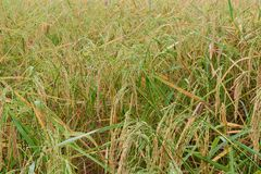 Spike of rice at morning. Beautiful scenery of Spike of rice at morning Royalty Free Stock Images
