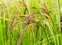 Spike of riceberry. Riceberry spike in the paddy field Stock Photography