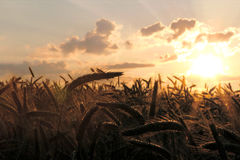Spike rye at sunset Stock Photography