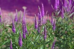 Spike Speedwell Flower Stock Photo