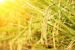 Spike in thai farm rice. Near sunset moment Stock Photo