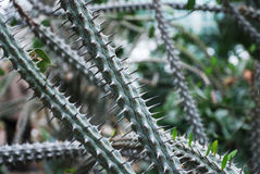Spike twigs of the cactus Royalty Free Stock Image