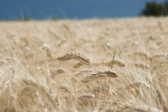 Spike of Wheat Royalty Free Stock Photos