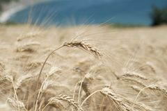 Spike of Wheat Stock Images