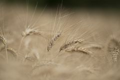 Spike of Wheat Royalty Free Stock Images