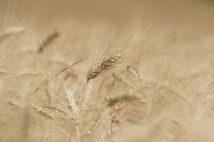 Spike of Wheat Stock Photography