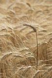 Spike of Wheat Stock Photo