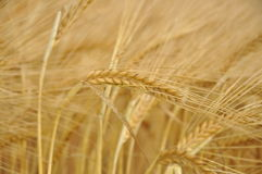 Spike of wheat Royalty Free Stock Photography