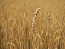 Spike of wheat on organic field Stock Image