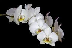 Spike of White Phalaenopsis Orchids on Dark Backgr Stock Image