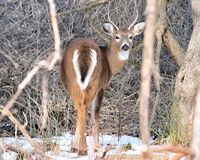 Spike Whitetail Buck Stock Photography