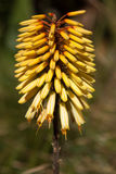Spike of Yellow Kniphofia flowers Stock Image