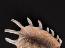 Spiked θαλασσινό κοχύλι σε ένα μαύρο υπόβαθρο Στοκ Εικόνα