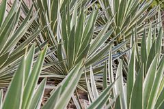Spiked agave leaves Royalty Free Stock Images