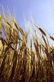 Spiked barley Royalty Free Stock Photos