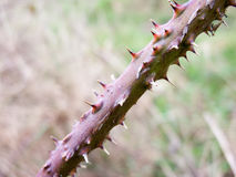 Spiked bramble branch in the spring Royalty Free Stock Photography