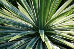 Spiked Bush. Spiked, prickly bush with sharp, pointed fronds radiating out in all directions sits in a front lawn in Florida around noon in June Stock Images