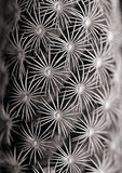 Spiked Cactus. A black and white capture of a spiky cactus Stock Photo
