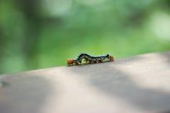 A Spiked Caterpillar in focus Stock Photos