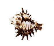 Spiked Sea Shell on a white background Royalty Free Stock Photography