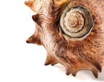 Spiked seashell. Stock Image