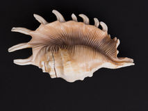 Spiked seashell on black background Stock Photo