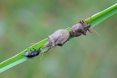 Spiked shieldbug,  Picromerus bidens. Spiked shieldbugs mating and enjoying a prey Royalty Free Stock Photos