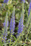 Spiked Speedwell flowers Stock Images